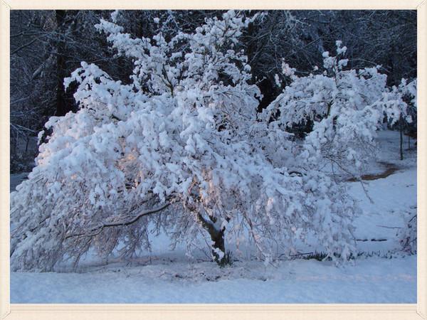 SPRING SNOW DAMAGE