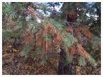 Pine needle drop