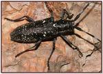 Pine Sawyer beetles