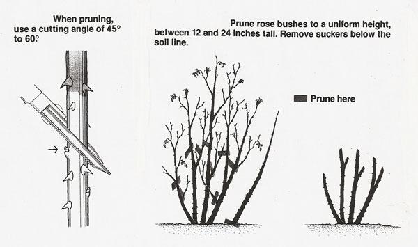 Pruning-Cut roses 4