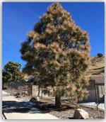 damaged cedar 3