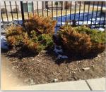 damaged juniper 2