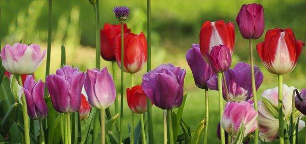 row of tulips 2