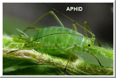 aphid 3