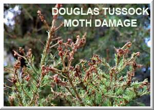 douglas fir tussock moth 2