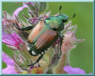 Japanese Beetle with frame