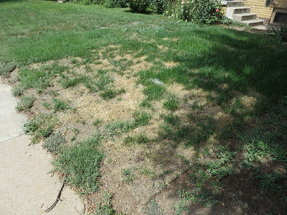 Mite-Damaged-Lawn-Denver