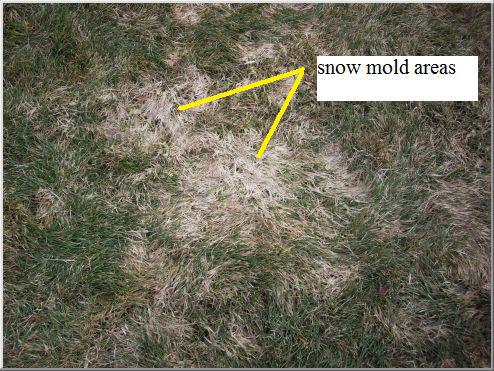 snow-mold
