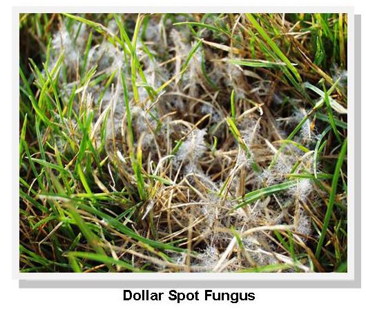 Dollar spot fungus