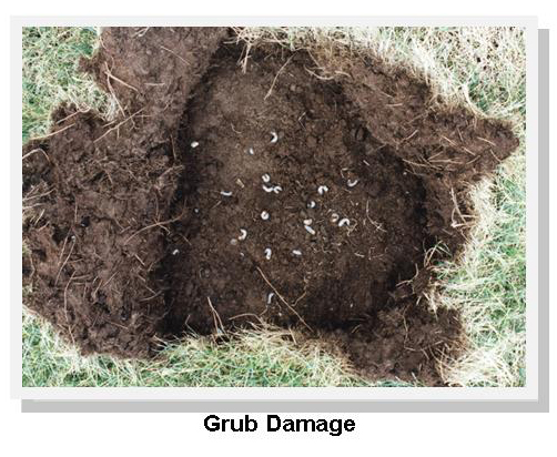 Grub Damage