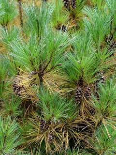 white_pine.needles.browning.fall 3