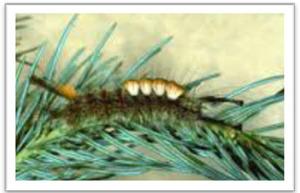 Tussock moth web